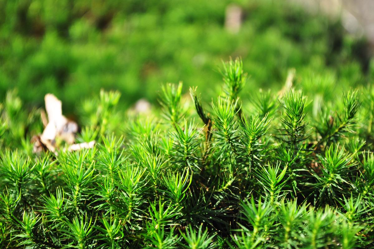 Moose der wetterau foto galerien und bilder for Moos bilder pflanzen
